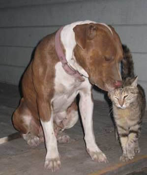 PitBull and Cat Socializing