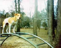 Annie the PitBull Climbs Jungle Gym