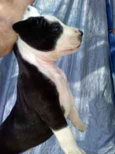 Pit pup Male Black with White Cape