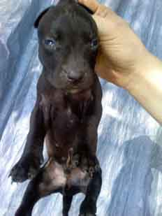 Male pup: Black