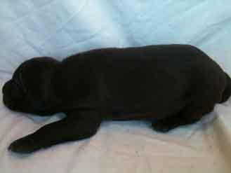 seal color male pit bull Puppy left side